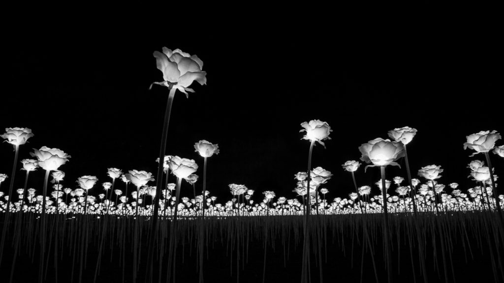 Field of roses - black and white shot